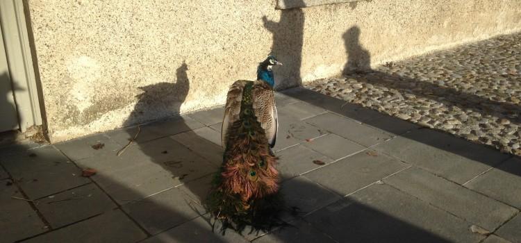 xmas 2017 peacock